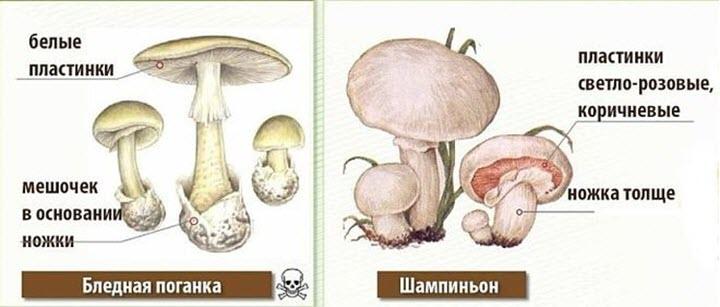 Кроме съедобных шампиньонов, в лесу и полях встречаются ядовитые виды этого гриба.