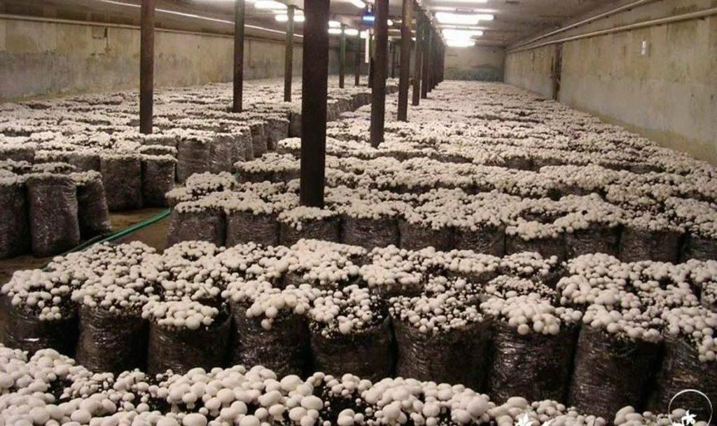 Если не будет постоянного обновления воздуха (то есть качественно сделанной вентиляции), то грибы перестанут расти, а затем и вовсе зачахнут.