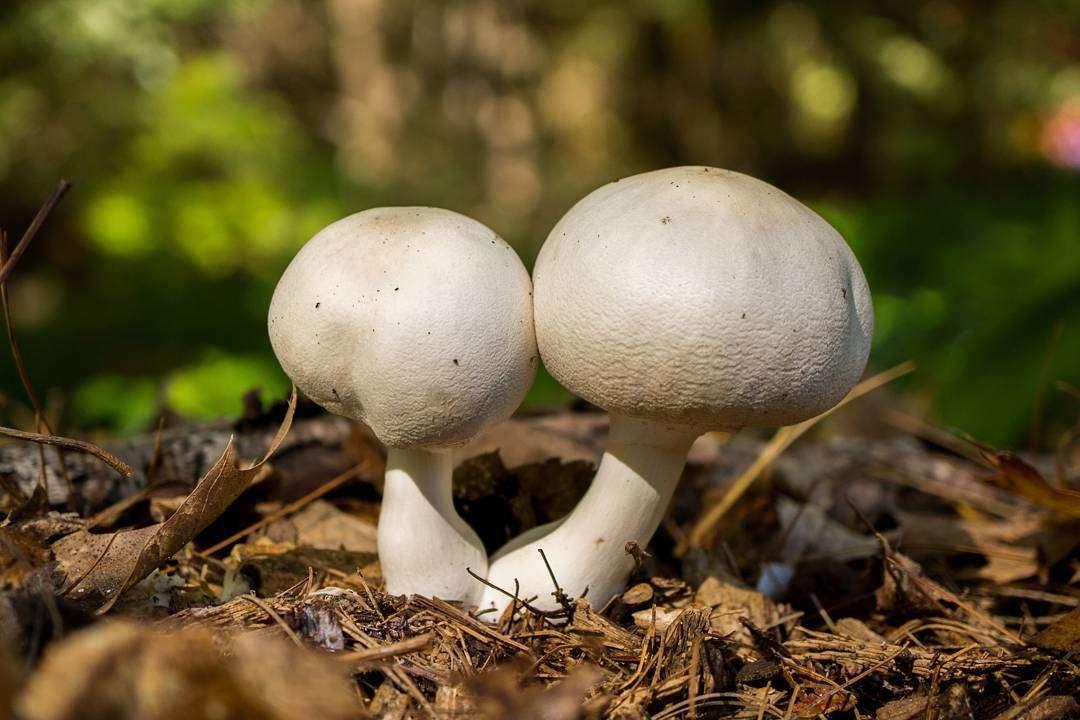 Само слово «шампиньон» с французского языка переводится как «гриб».