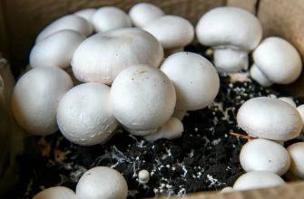 Выращивание Шампиньонов На Даче